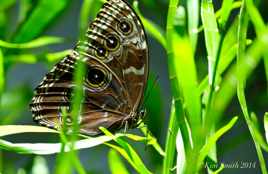 Blue Morpho Butterfly ©Kim Smith 2014