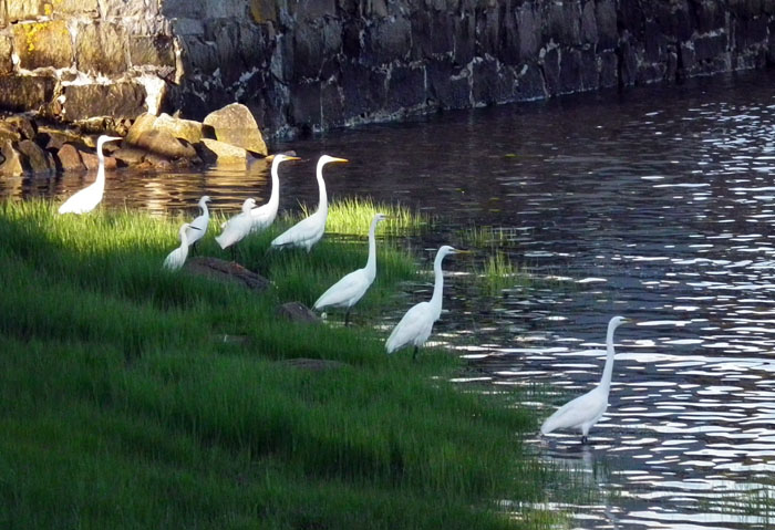 egrets in wonsons cove