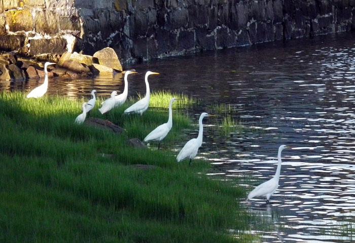 egrets in wonsons cove
