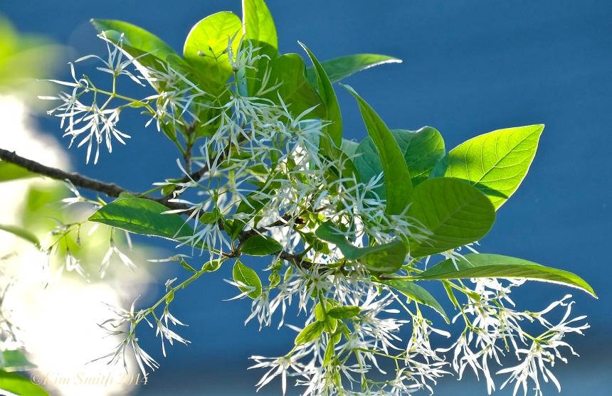 Fringetree Chionanthus virginicus  Gloucester MA ©Kim Smith 2014jpg