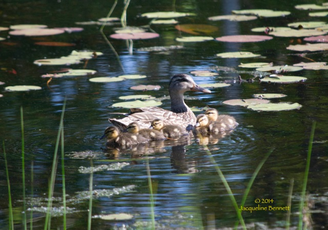 more pond ducks in a row
