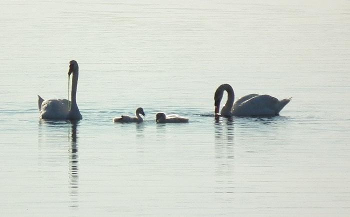 niles pond swans doing fine