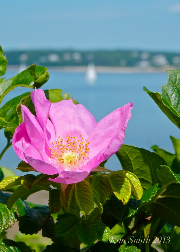 Rosa rugosa Niles Beach ©Kim Smith 2013
