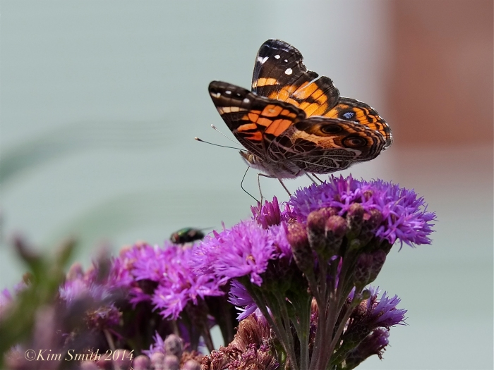 American Lady Butterfly New York Ironweed -2 ©Kim Smith 2014