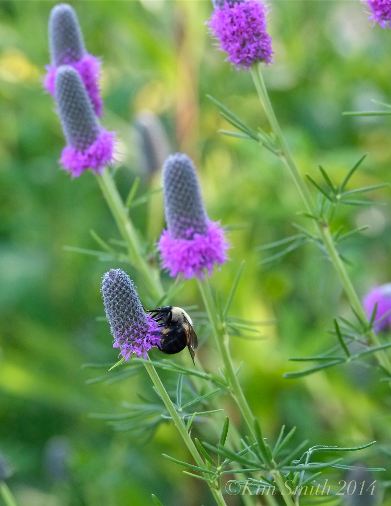 Bee Purple Prairie Clover Dalea purpurea Gloucester Harbor Walk Butterfly Gardens ©Kim Smith 2014. JPG