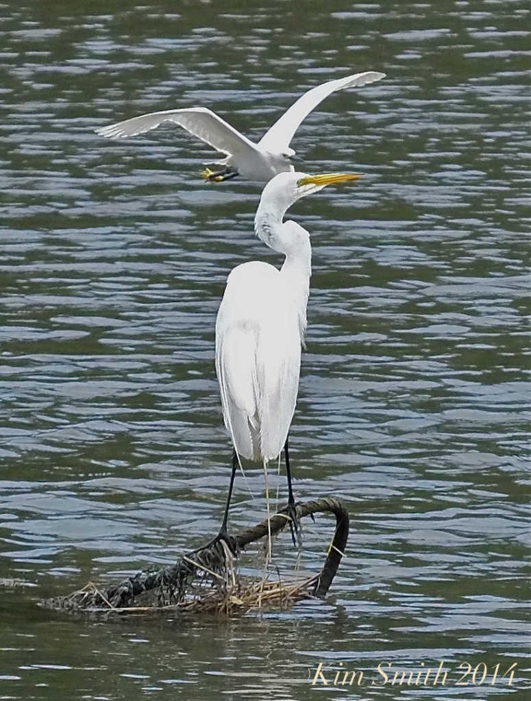 Great Egret Snowwy Egret how to tell the difference ©Kim Smith 2014