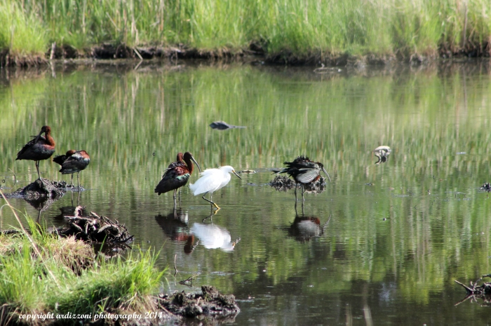 July 7, 2014 Egrets and Herons