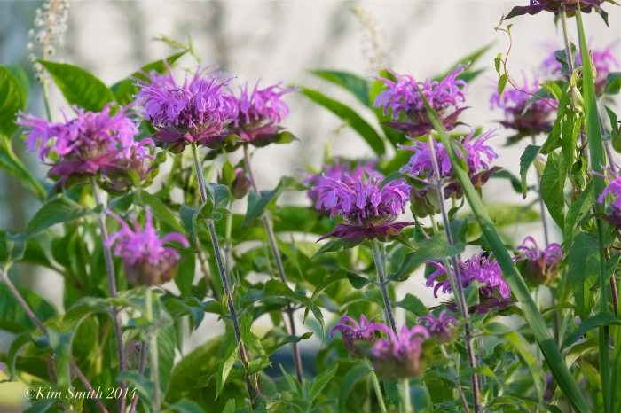 Monarda didyma Bee Balm Gloucester Harbor Walk Butterfly Gardens ©Kim Smith 2014