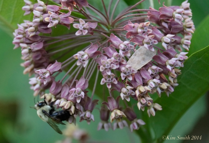 Pathways for Children Butterfly Garden Milkweed ©Kim Smith 2014.