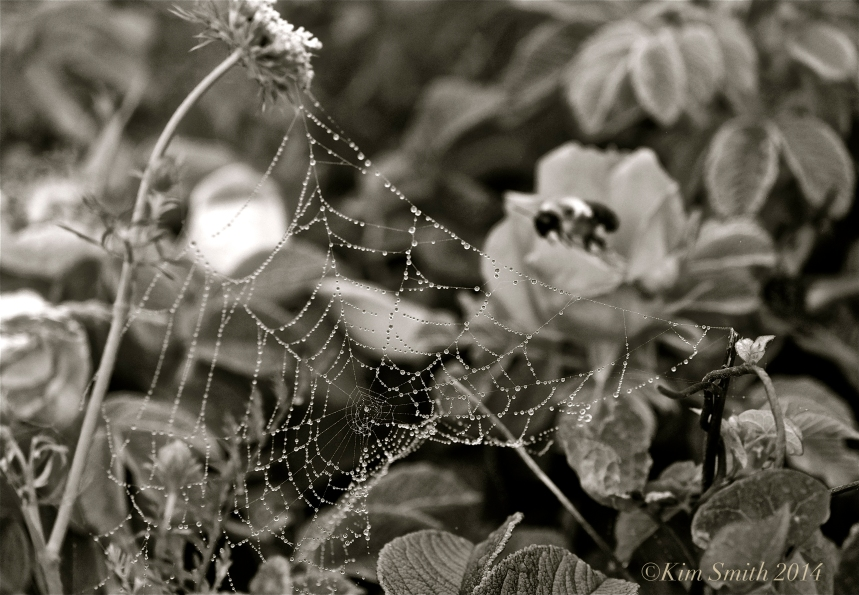Spider's Web Niles pond -2 ©Kim Smith 2014