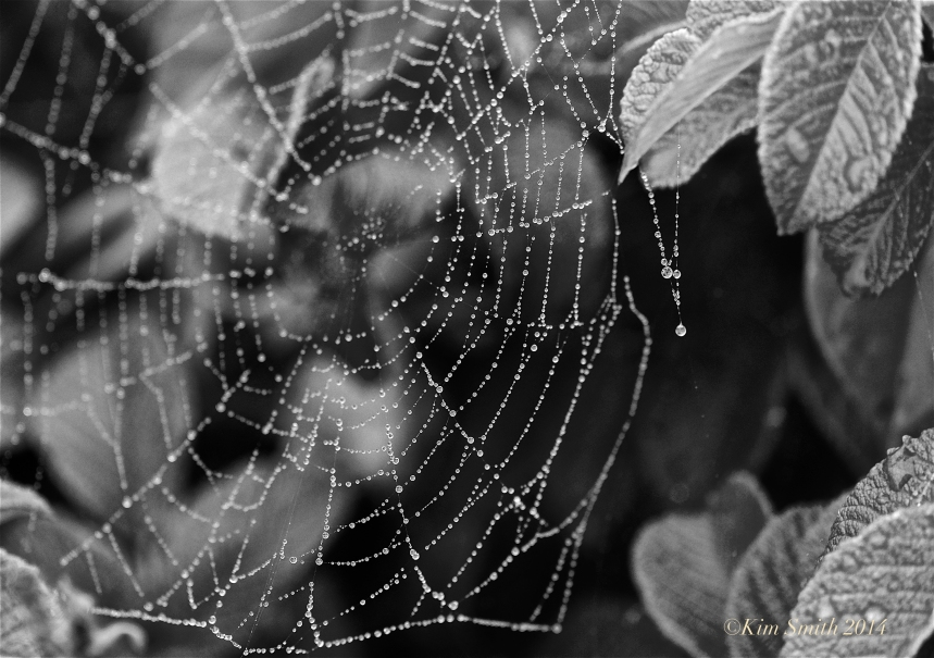 Spider's Web Niles Pond Gloucester ©Kim Smith 2014JPG