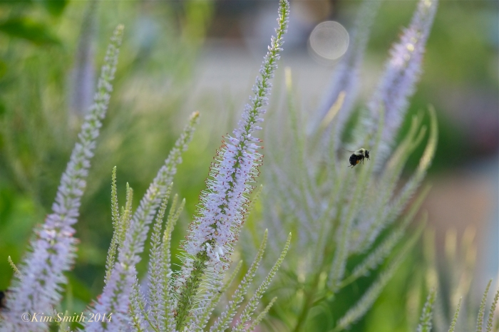 Veronicastrum virginicum Bee Gloucester Harbor Walk Butterfly Gardens ©Kim Smith 2014