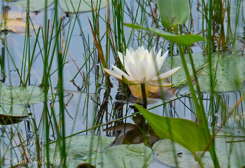 Water Lily Niles pond -2 ©Kim Smith 2014