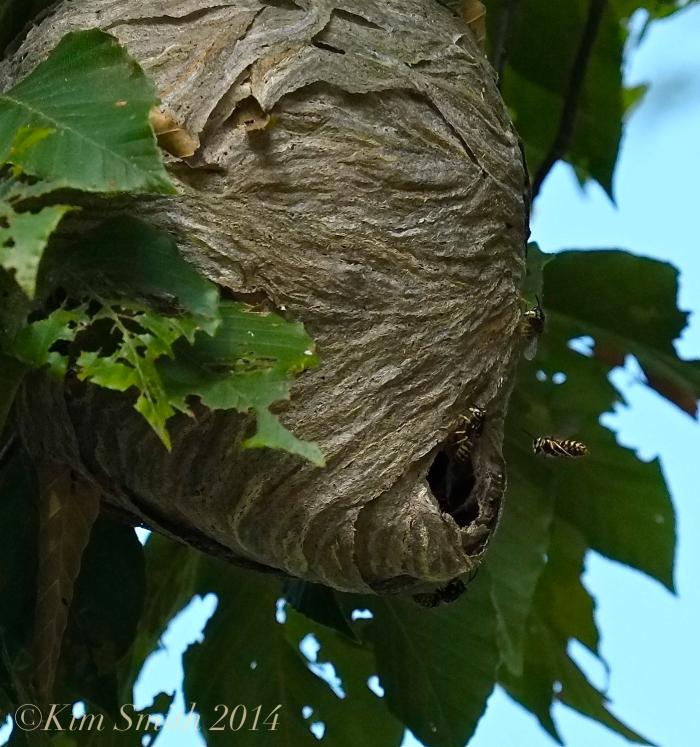 Aerial Yellowjacket nest -2 ©Kim Smith 2014
