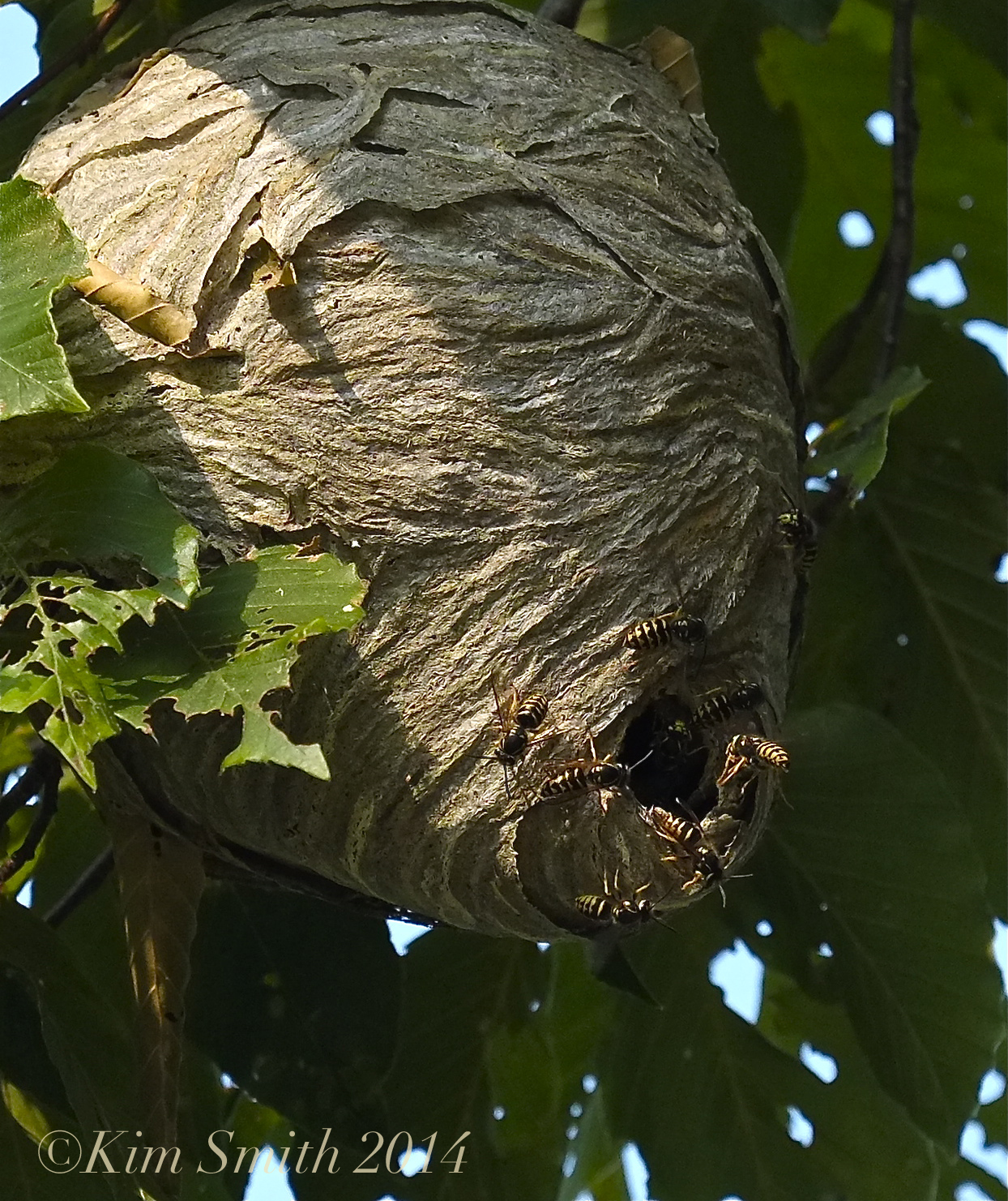 Aerial Yellowjacket Nest and Why Yellowjackets are Considered ...