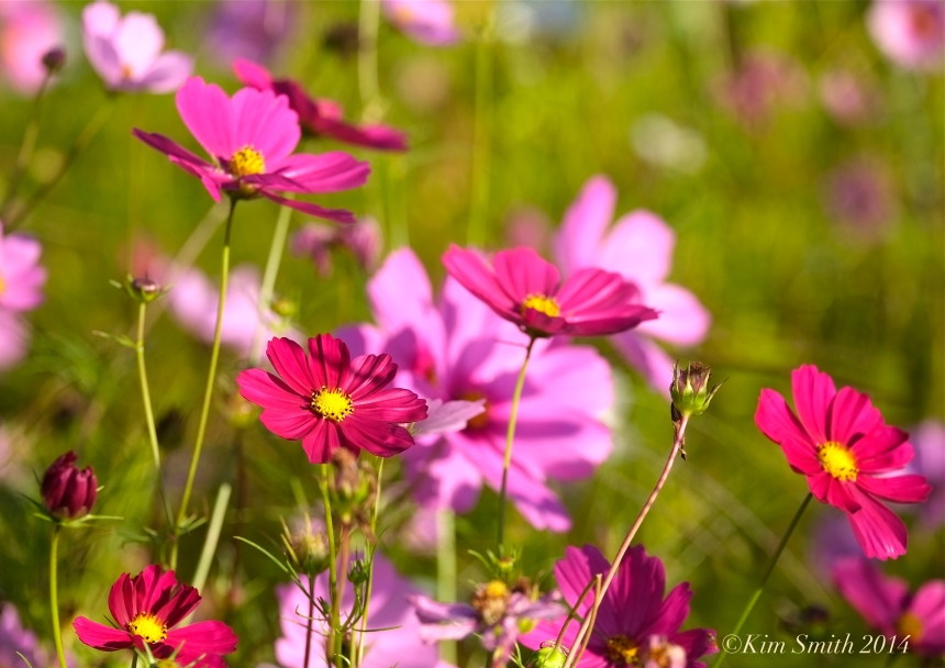 Apple Street Farm Cosmos ©Kim Smith 2014
