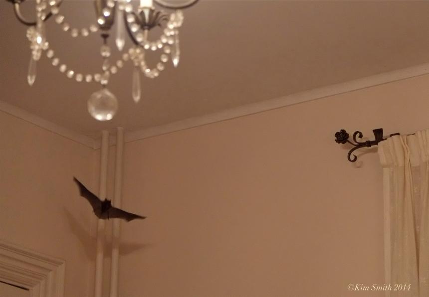 Bat trapped ©Kim Smith 2014