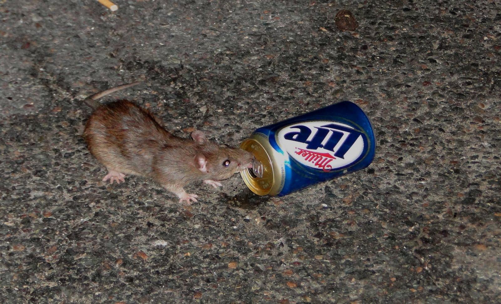 beer_rat