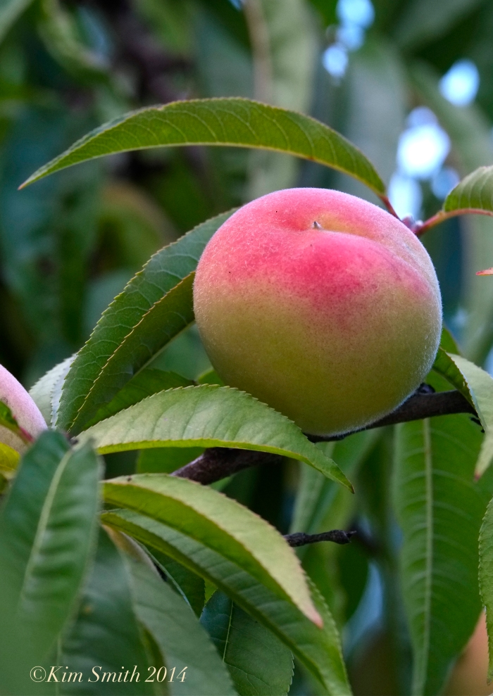 Belle of Georgia peach ©Kim Smith 2014 copy