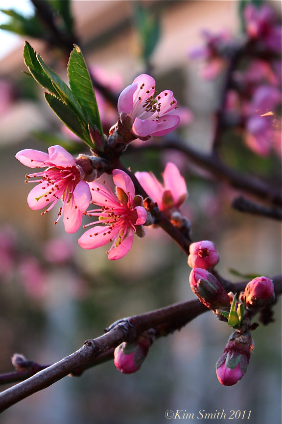 Peach tree blossom Belle of Georgia ©Kim Smith 2011