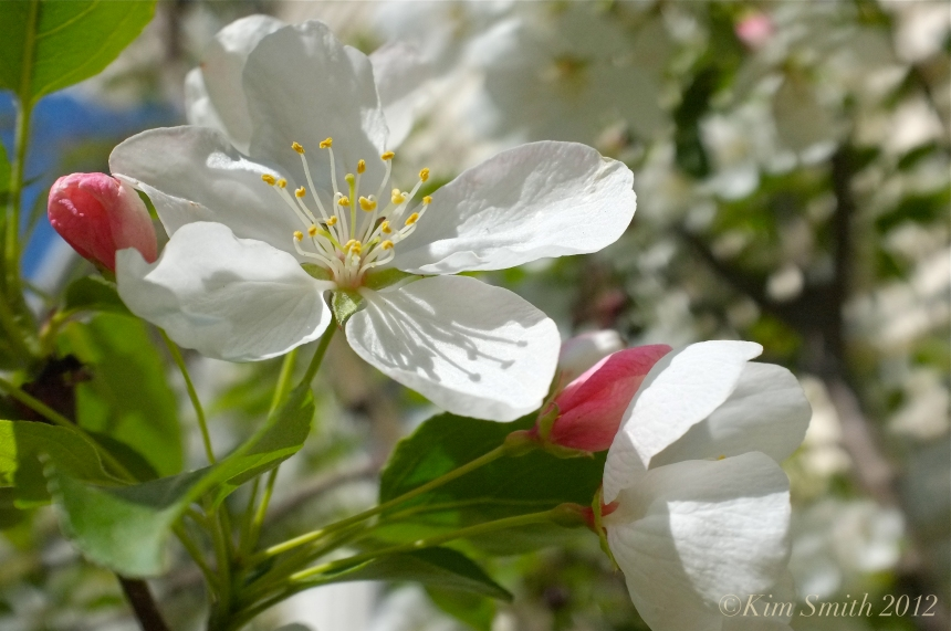 Apple Blossom ©Kim Smith 2012