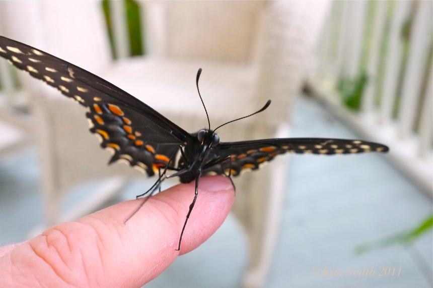 Black swallowtail Butterfly finger ©Kim Smith 2011 copy