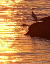 Great Egret Good Harbor Beach September sunrise ©kim Smith 2014.