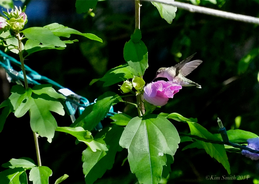 Hummingbird Rose of Sharon ©Kim Smith 2014