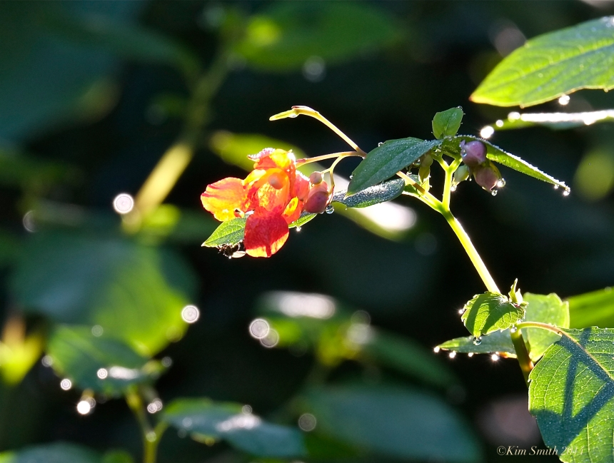 Jewelweed ©Kim Smith 2014