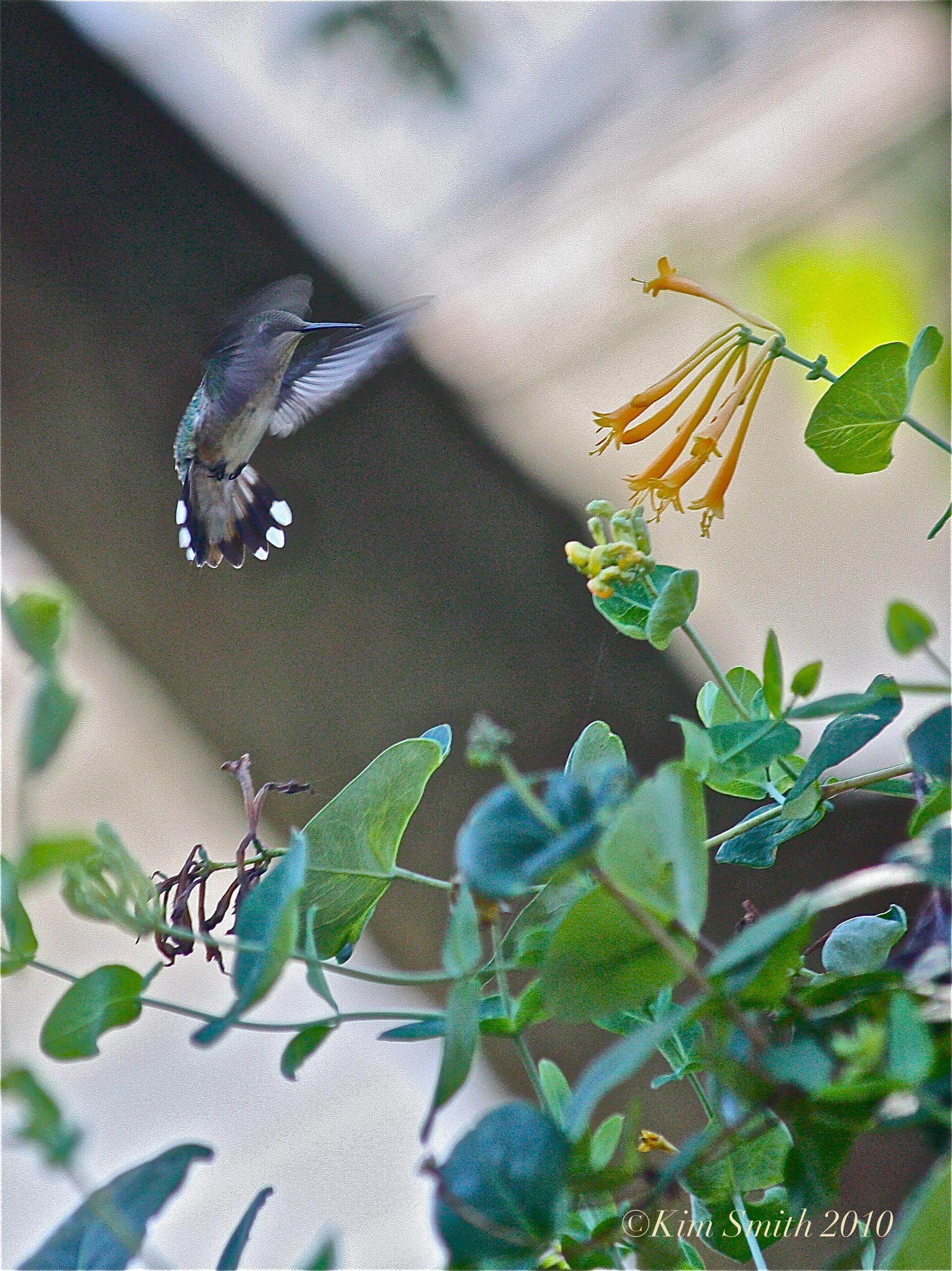 Hummingbird And Honeysuckle Tattoo Native honeysuckle ~ lonicera