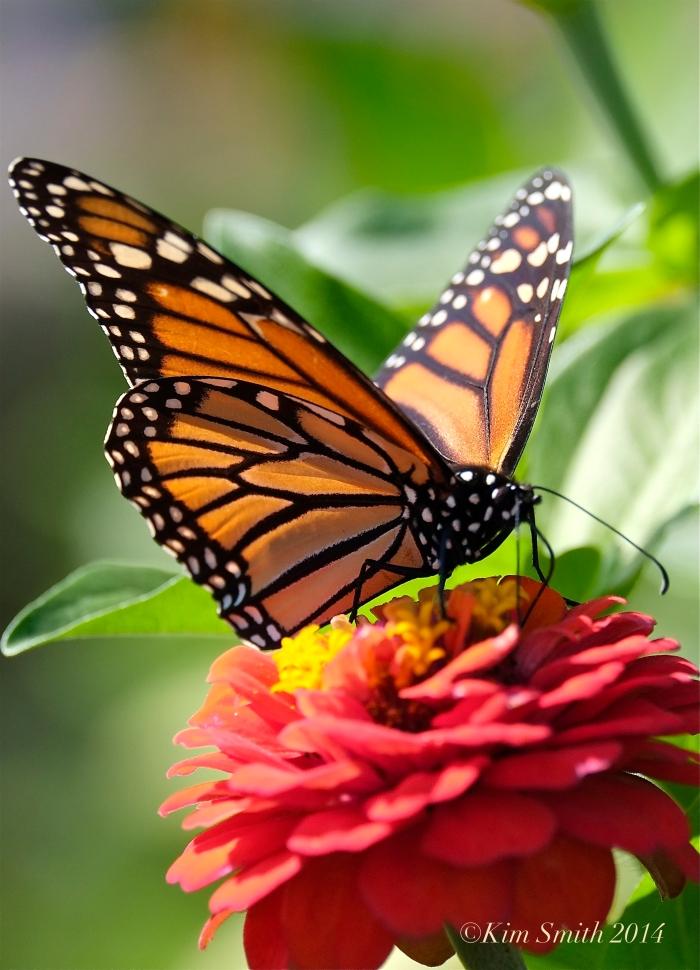 Monarch Butterfly Gloucester HarborWalk ©Kim Smith 2014