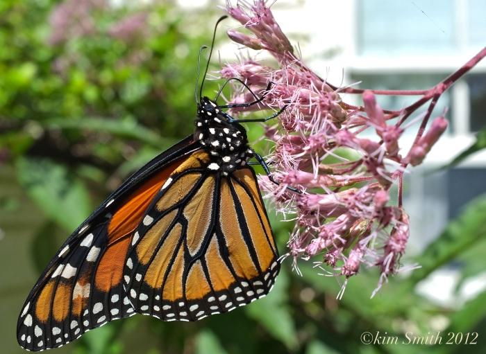 Monarch Butterfly Nectaring Joe Pye ©Kim Smith 2012