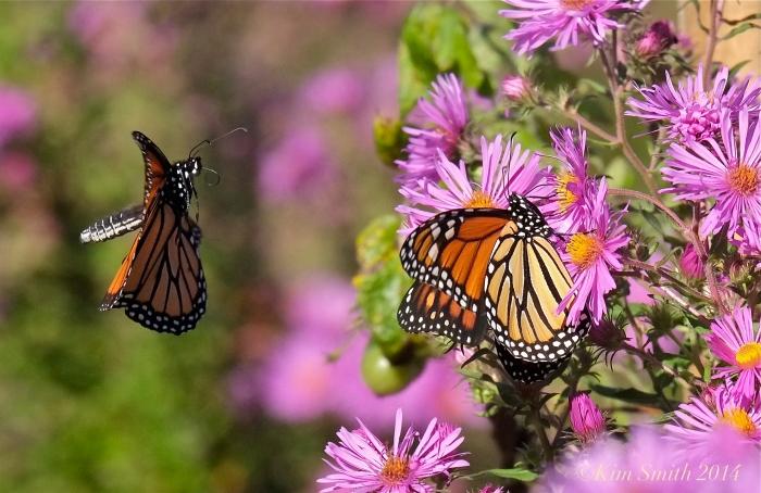 Monarch in flight ©Kim Smith 2014