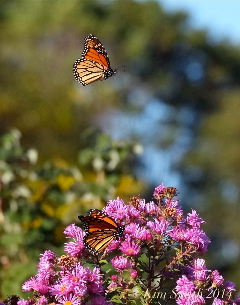 Monarchs on the Wing ©Kim Smith 2014