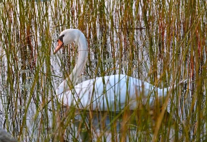 Niles Pond Swan ©2014 Kim Smith