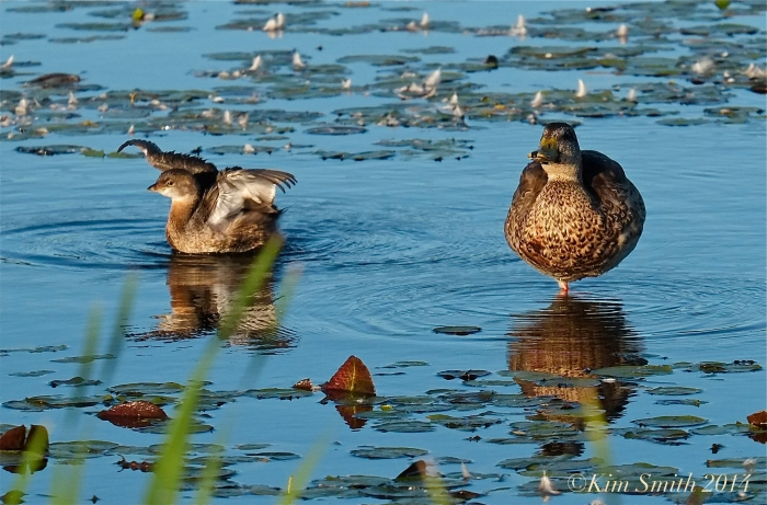 Pied-billed Grebe Massachusetts -3 ©kim Smith 2014