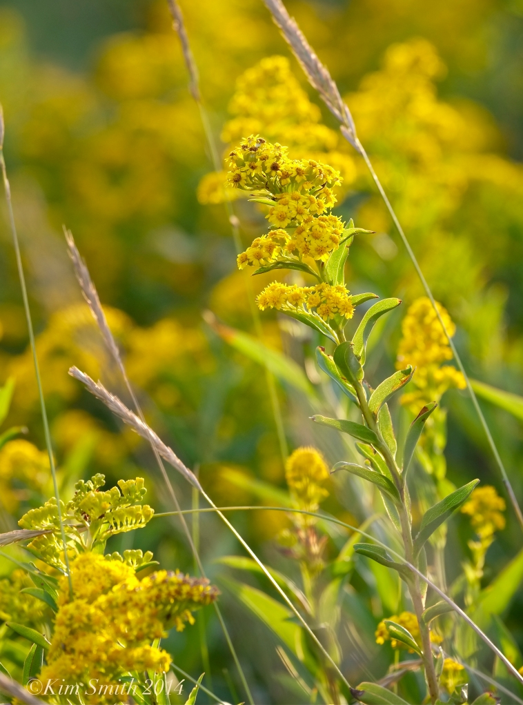 Seaside Goldenrod © 2014 Kim Smith copy