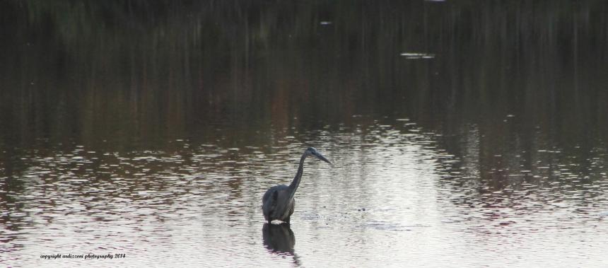 September 23, 2014 blue heron