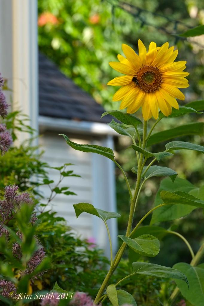 Sunflower ©Kim Smith 2014 copy