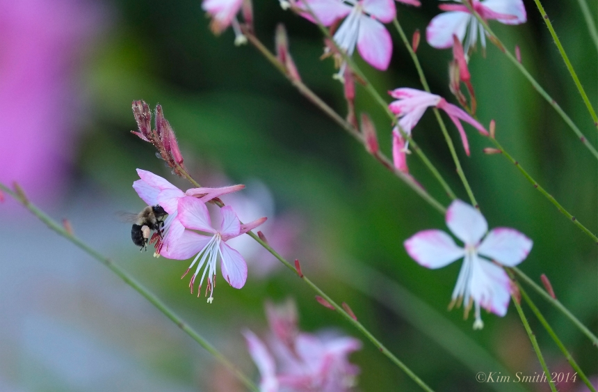 Whirling Butterflies (Gaura lindheimeri) ©Kim Smith 2014