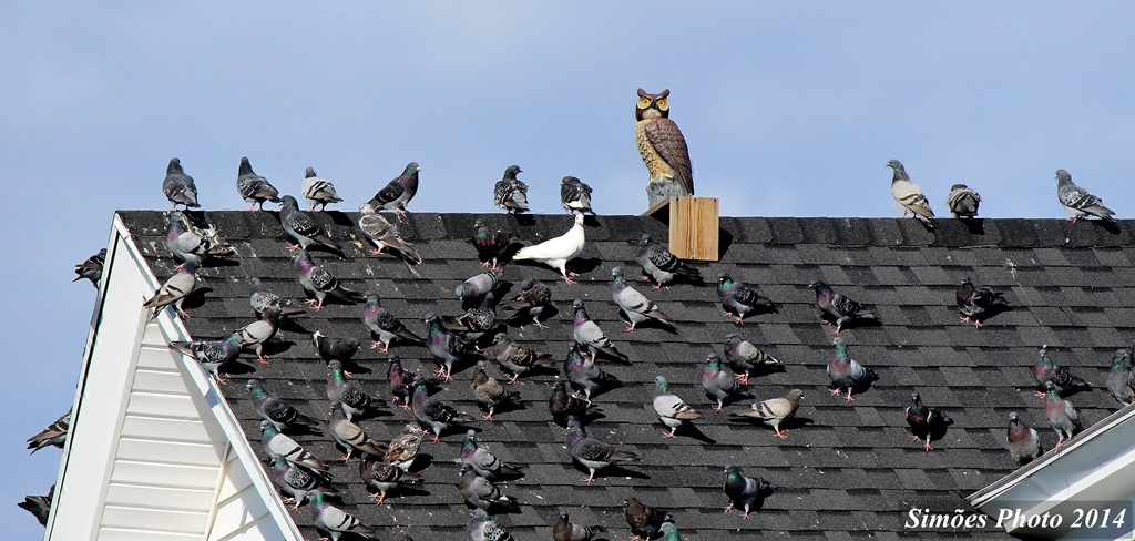 Owl Decoy Keeps Sea Gulls Off Your Roof