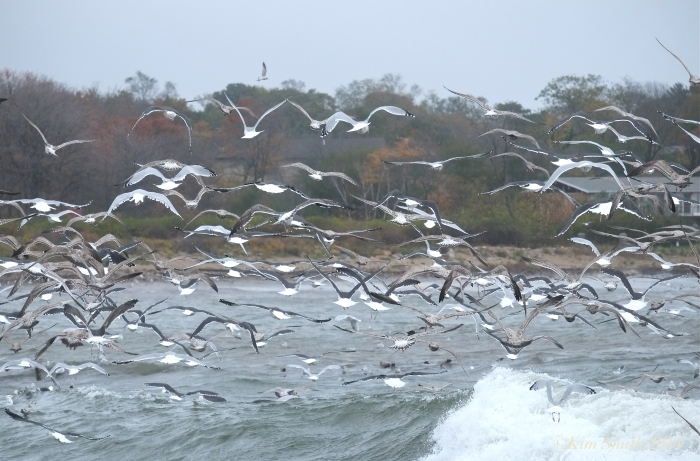 Brace Cove seagulls ©Kim Smith 2014