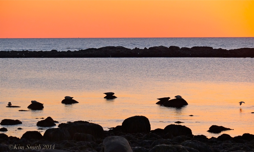 Brace Cove seals at sunrise -2 ©Kim Smith 2014