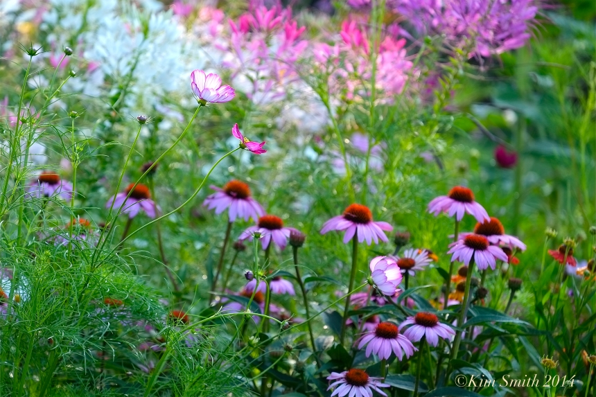 Cosmos and Coneflowers ©Kim Smith 2014
