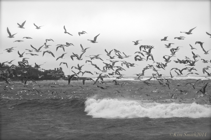 Eastern Point Seagulls ©Kim Smith 2014