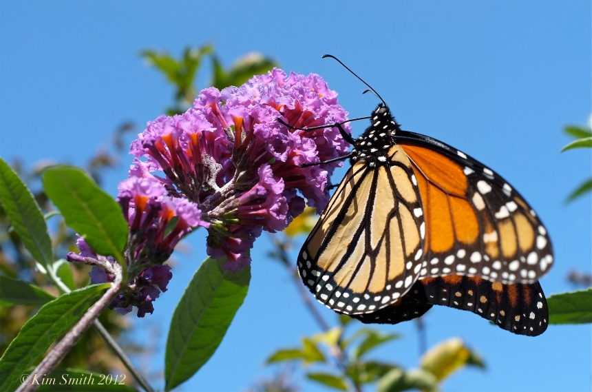 Monarch Butterfly Butterfly Bush  ©Kim Smith 2014