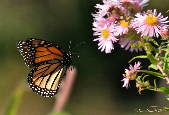 Monarch Butterfly Gloucester MA ©Kim Smith 2014