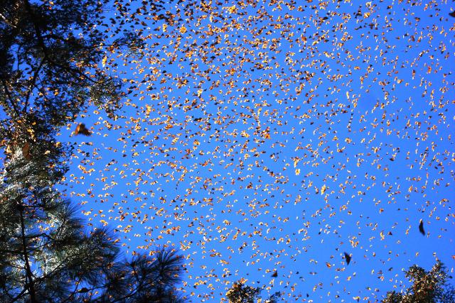 Monarchs640