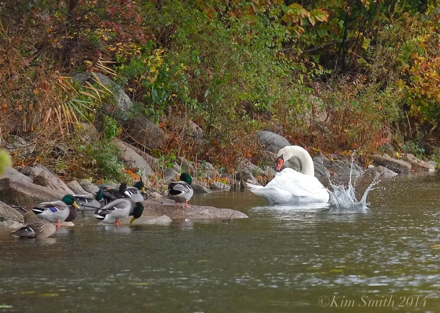 Niles Pond Swans ©kim Smith 2014