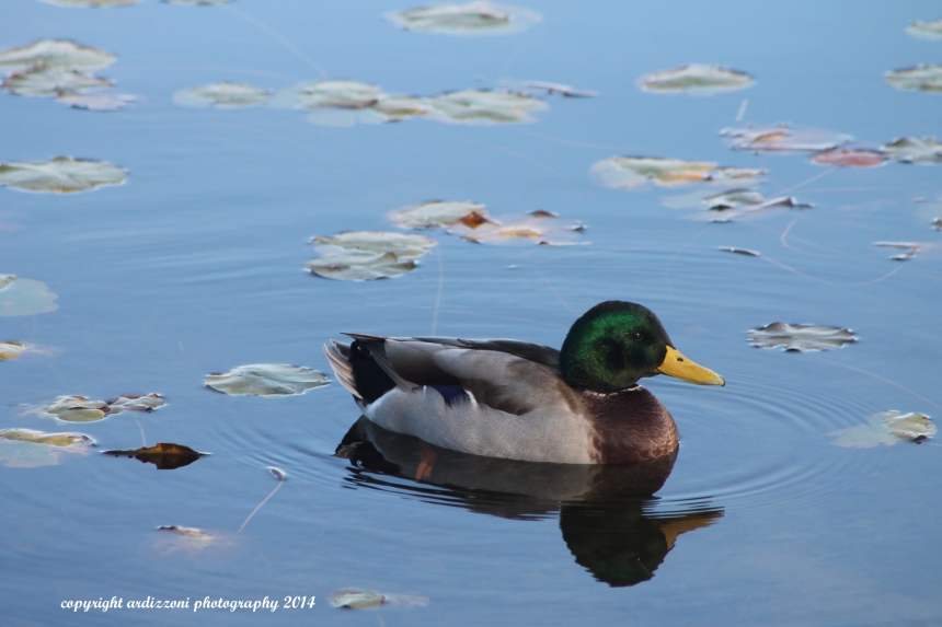 October 10, 2014 pretty duck at Niles Pond